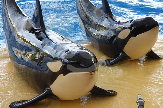 Orcas in the Loro Parque Tenerife