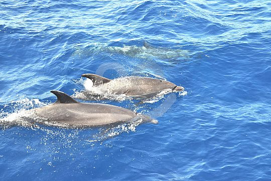 Sailing trip with whale- and dolphin watching Tenerife