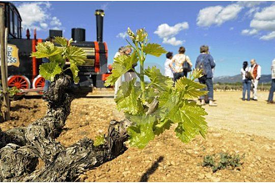wine vines in Mallorca
