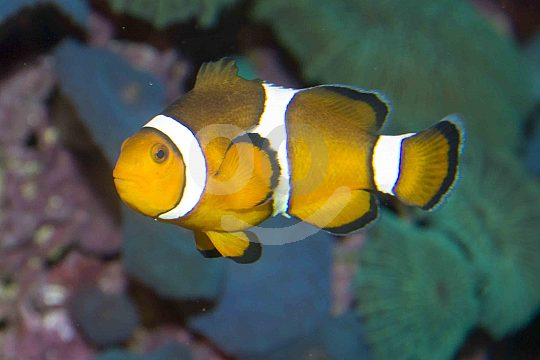 A clownfish in an aquarium of the Marineland in Portals Nous