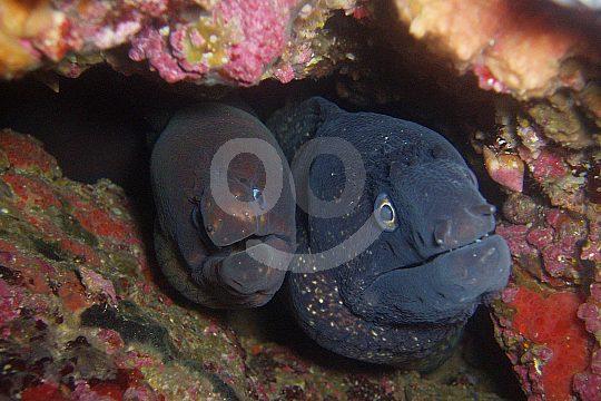 moray eels at scuba diving