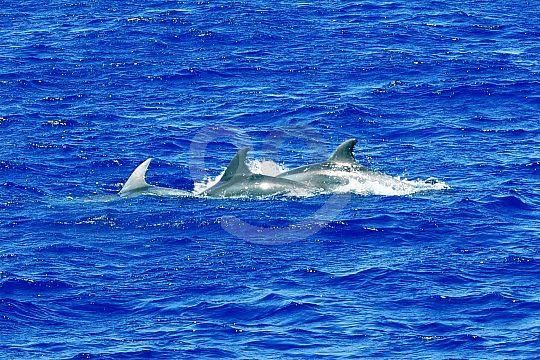 dolphin school in front of Majorca
