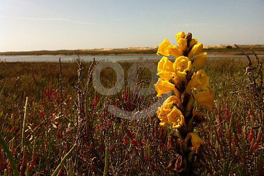 Ria Formosa Flowers