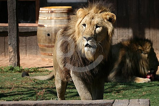 lion in the animal park Murcia