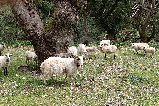 Sheep and landscape on Crete