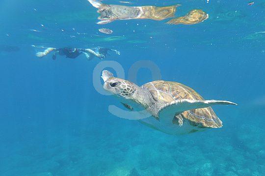 Schildkröten vor der Küste Teneriffas
