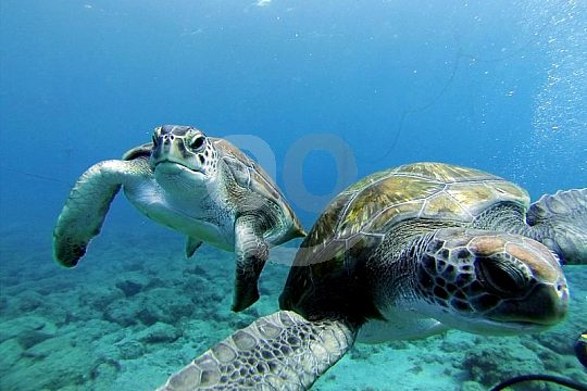 Turtles Diving Tenerife
