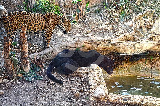 Leopards in Benidorm Zoo