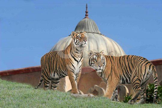 Tigers in the Terra Natura Park Benidorm