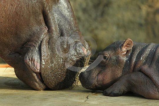 hippo baby at the Zoo Murcia