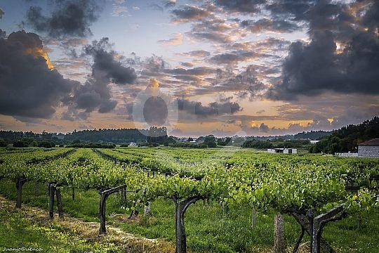 grapes in Galicia Albariño