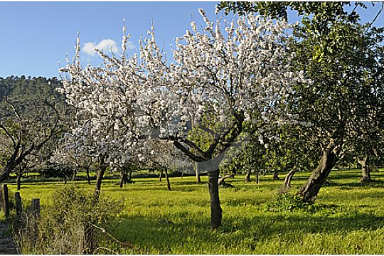 almond tree in deia