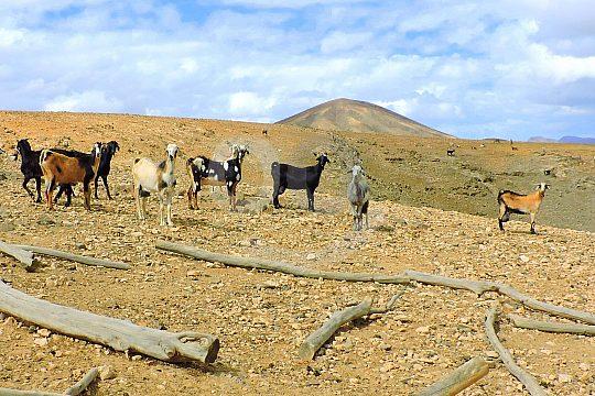 Ziegen auf Ziegenfarm auf Fuerteventura-Tapas-Tour