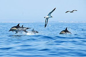 Dolphins watching in the Algarve - boat trip from Albufeira