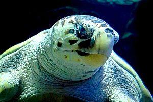 Schildkröte im Aquarium auf Lanzarote