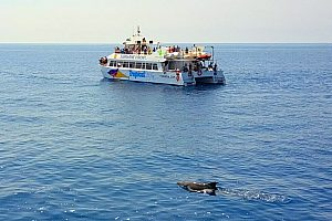 Go dolphin watching in Mallorca: watch the beautiful animals on a boat trip