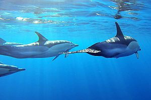 Boat trip in Madeira: swim with dolphins in front off Funchal
