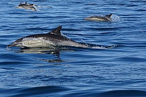 Dolphin Watching in the Algarve: A Boat Tour with the marine mammals