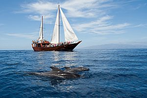 Boat trip off the south of tenerife: Whale and Dolphin watching on a pirate boat