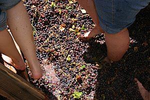 Weintrauben stampfen bei Porto-Weintour