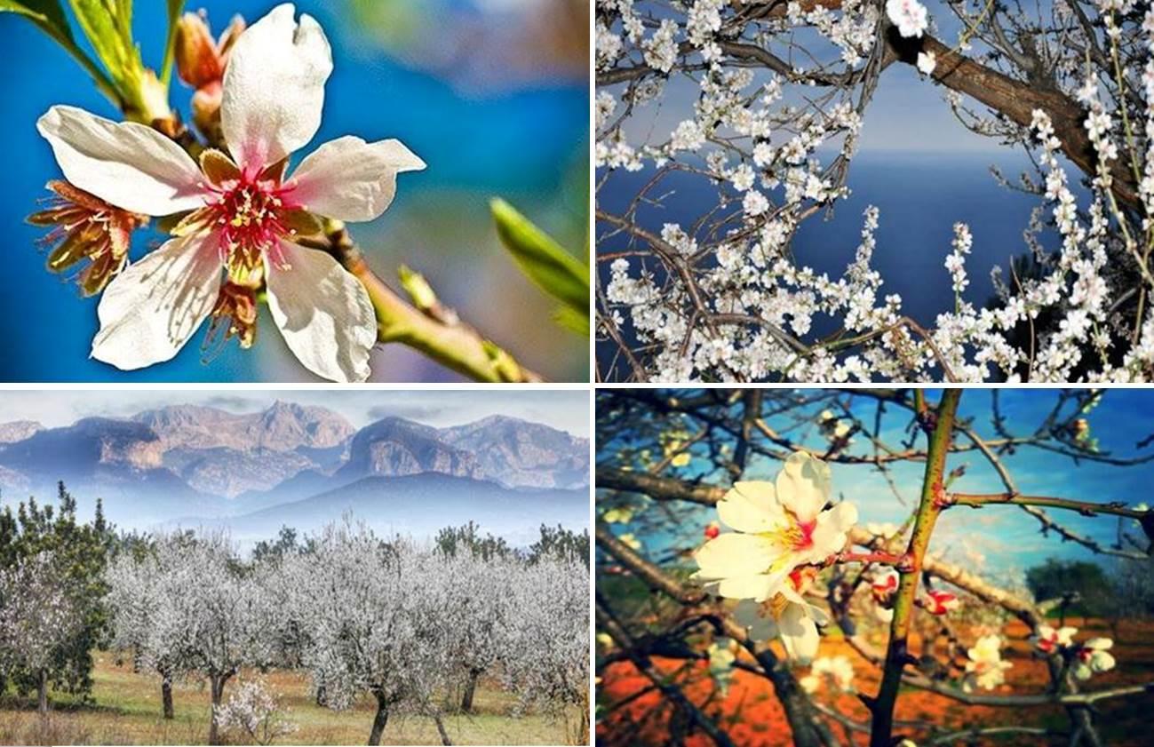 Mallorca im Frühling Mandelblüte