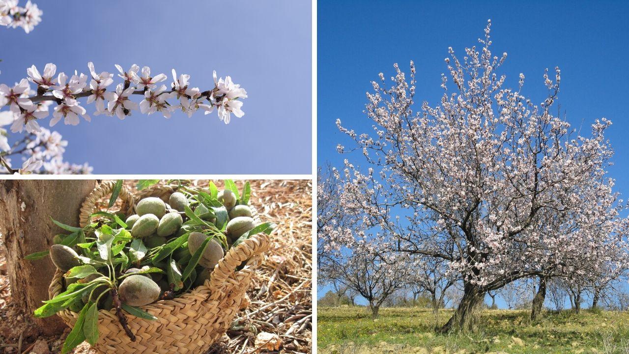 Almond blossom Mallorca